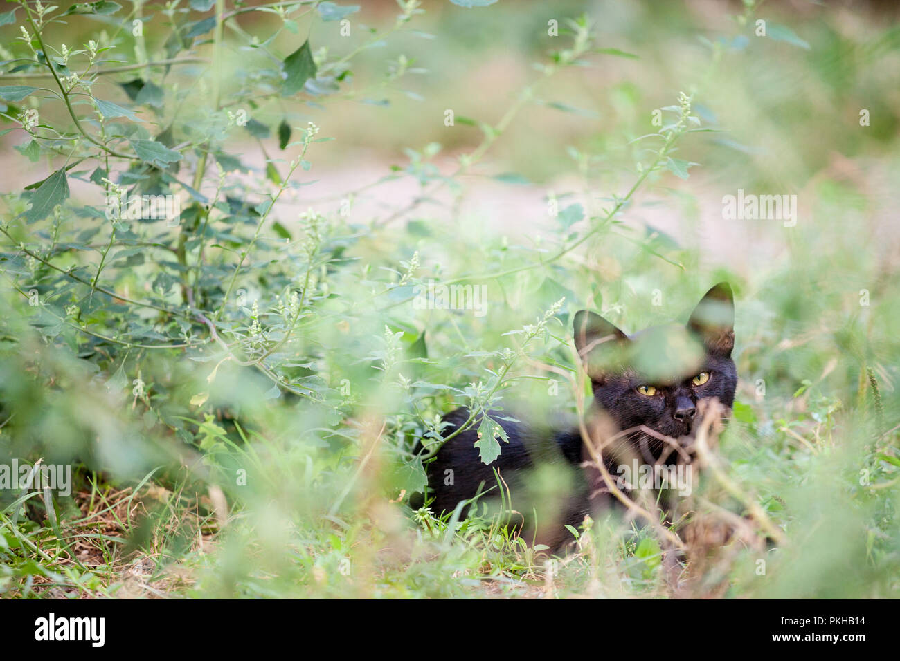 Angry stray black cat, hiding in grasses and bushes, looking and staring at the camera with its yellow eyes  Picture of a stray black cat, hiding in t - Stock Image