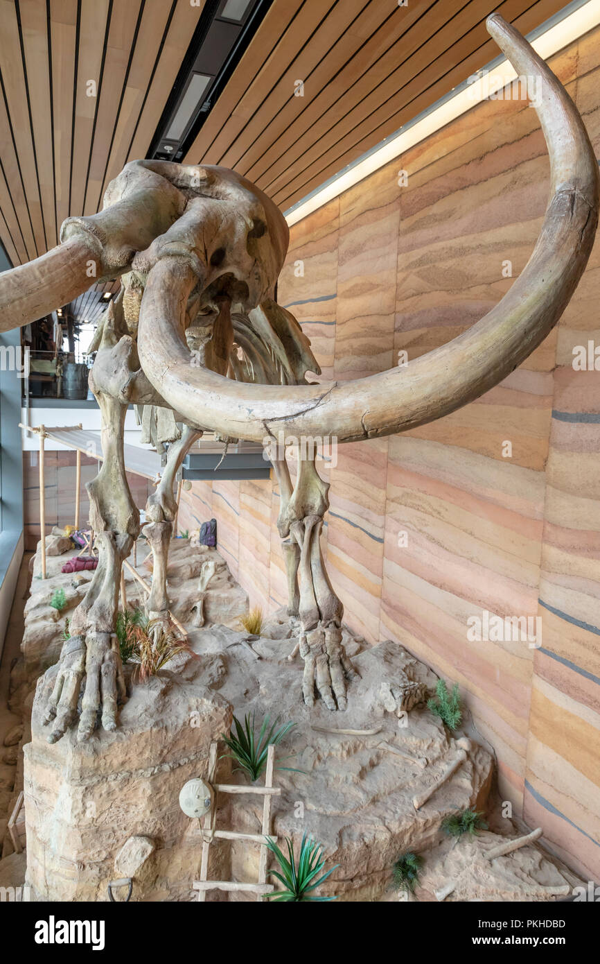 Cheyenne, Wyoming - The cast of a male Columbian mammoth (Mammuthus columbi), on display at the Wyoming Welcome Center. The original was named Dee by  - Stock Image