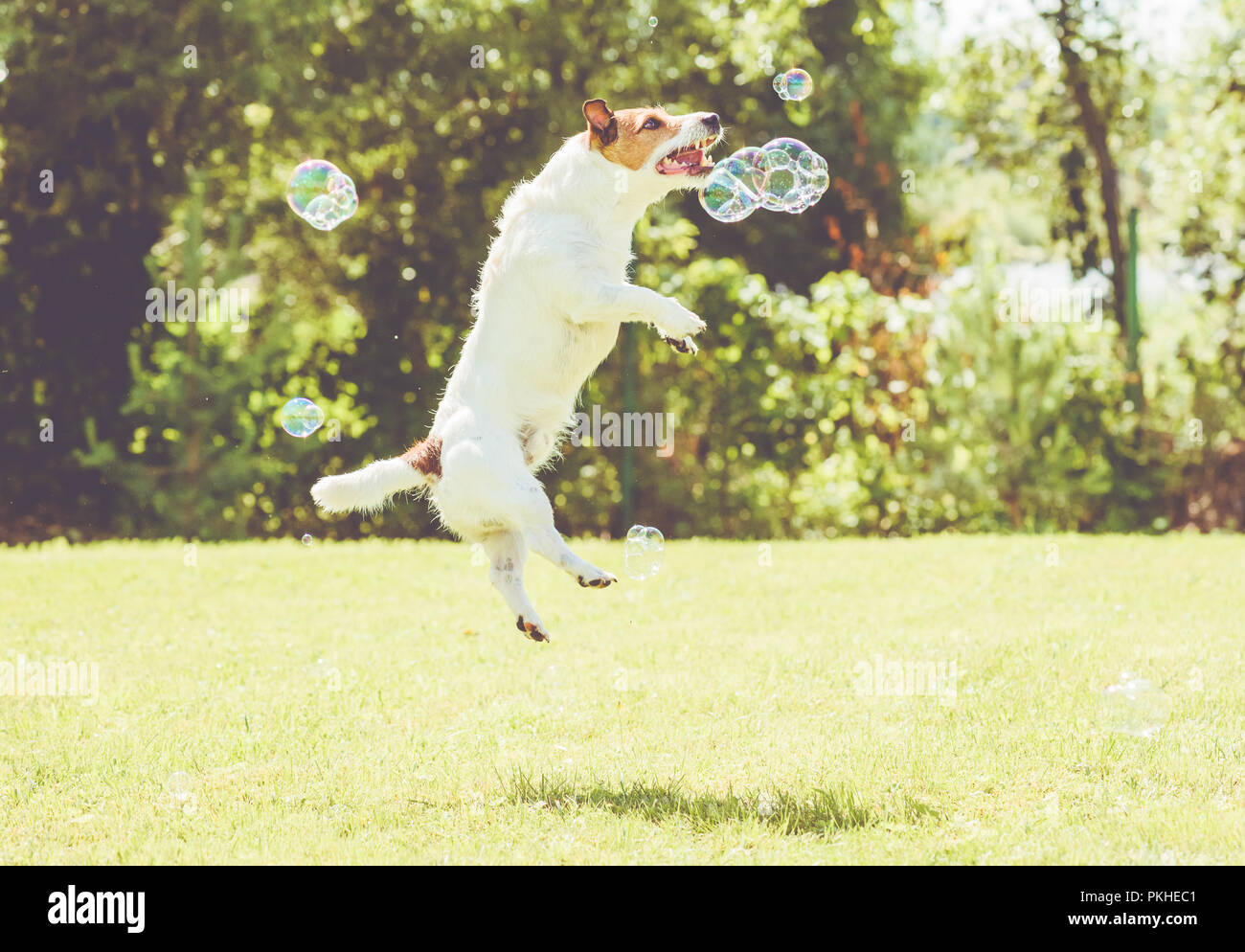 Playful dog jumps high to catch soap bubbles at sunny lawn at hot summer day - Stock Image