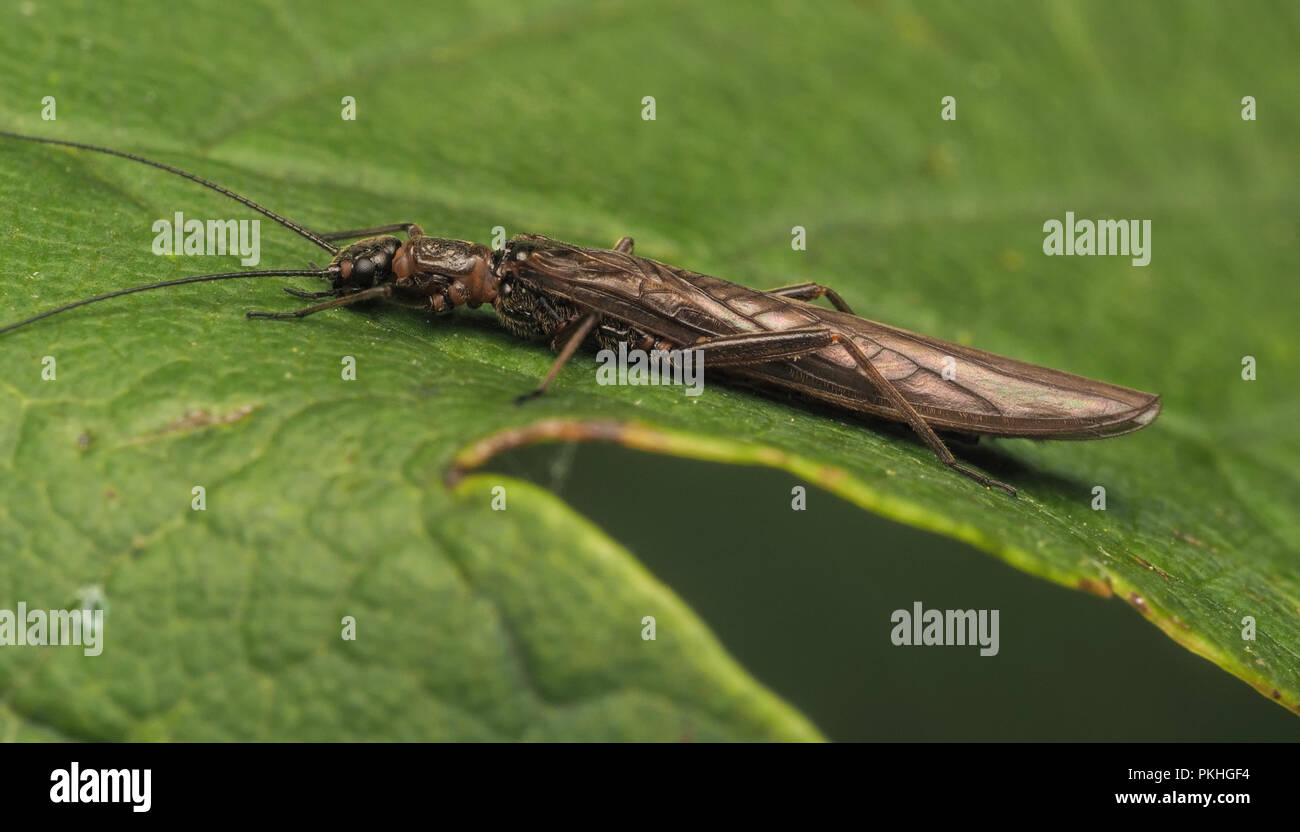 Stonefly (Leuctra fusca) at rest on oak leaf. Tipperary, Ireland - Stock Image