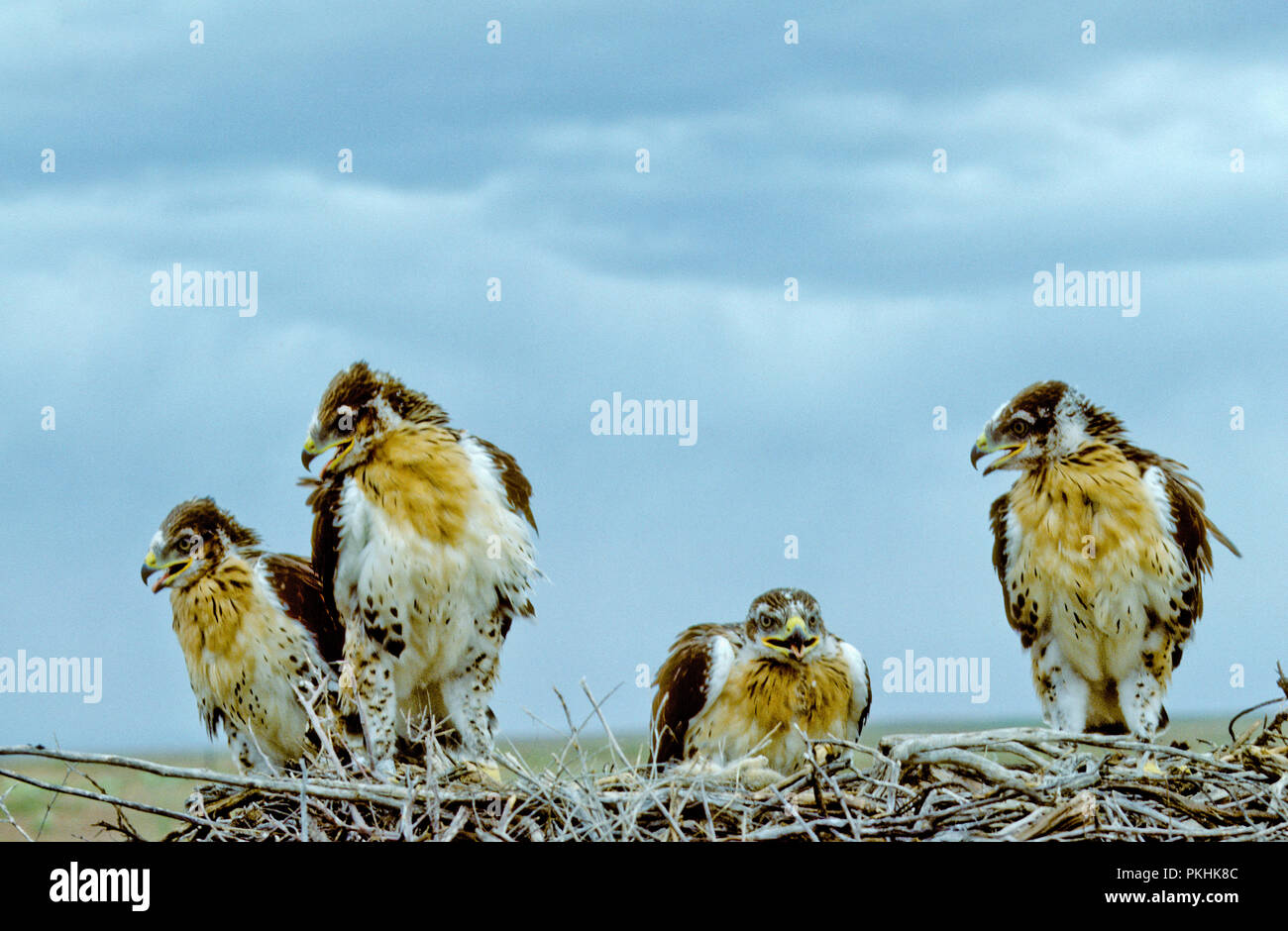 Juvenile ferruginous hawks (Buteo regalis) in nest in the Morley Nelson Snake River Birds of Prey National Conservation Area, Idaho - Stock Image