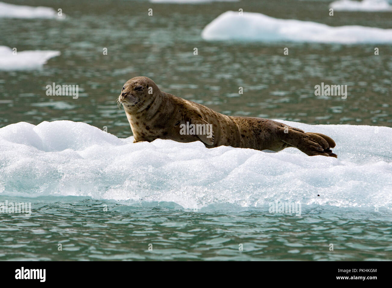 Harbor seals shelter on ice to help escape predation, to