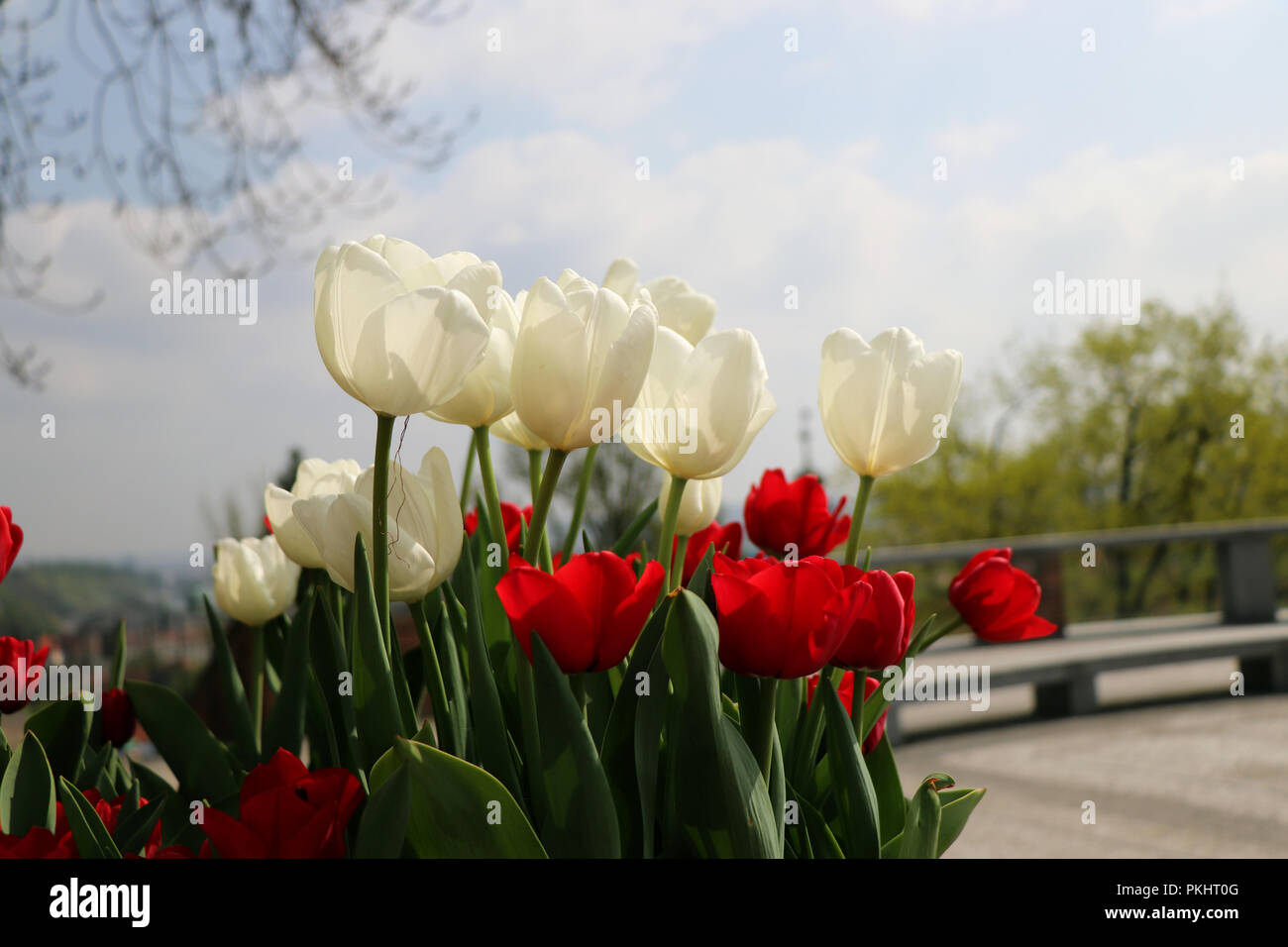 A beautiful red and white tulipa in the centre of town with blue sky Stock Photo