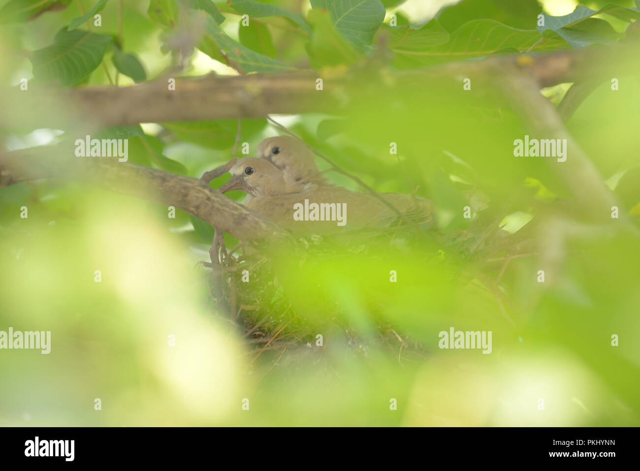 Young dove Streptopelia decaocto in nest - Stock Image