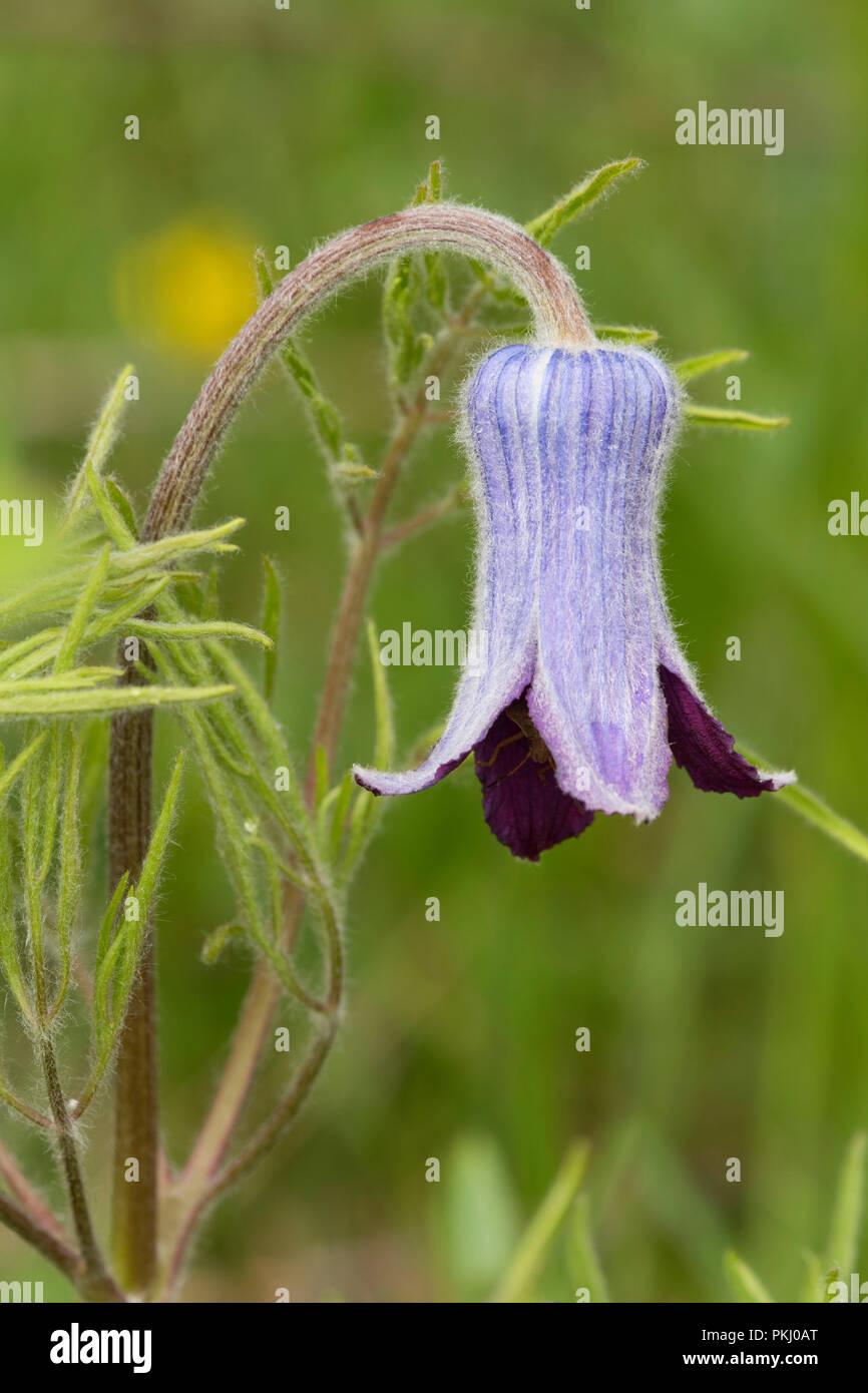 Flower, Absaroka Beartooth Wilderness, Gallatin National Forest, Montana - Stock Image