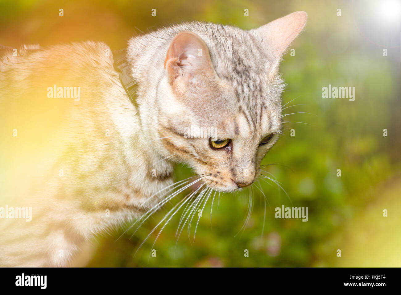 Beautiful male silver Bengal cat kitten portrait outdoors with sun flare - Stock Image