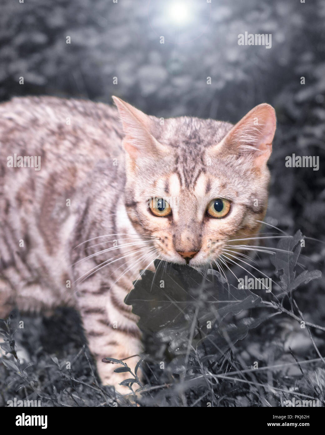 Beautiful male silver Bengal cat kitten portrait outdoors - Stock Image