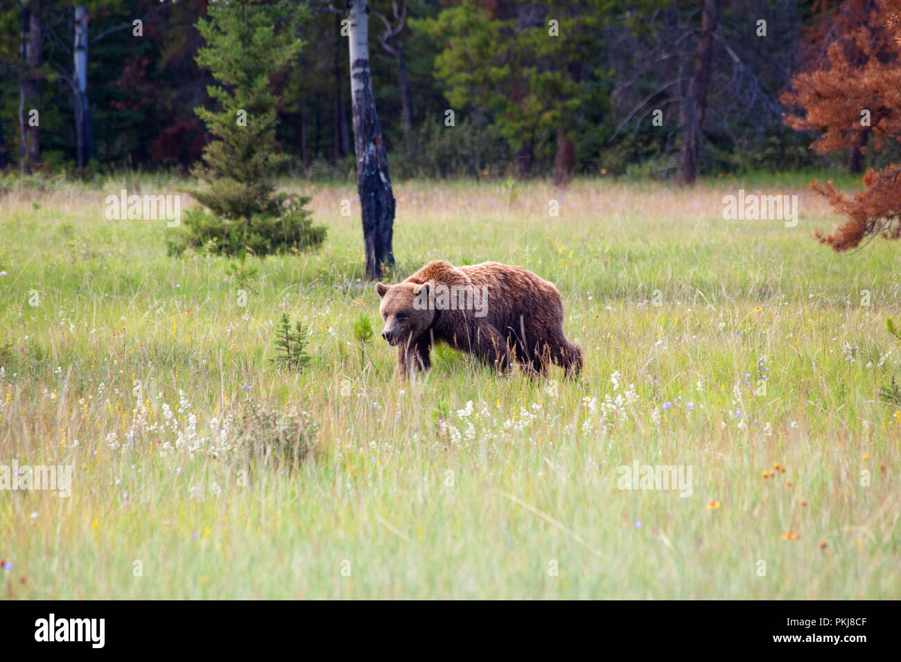Large adult grizzly bear (Ursus arctos) walking in a meadow in Jasper National Park. Alberta, Canada. - Stock Image