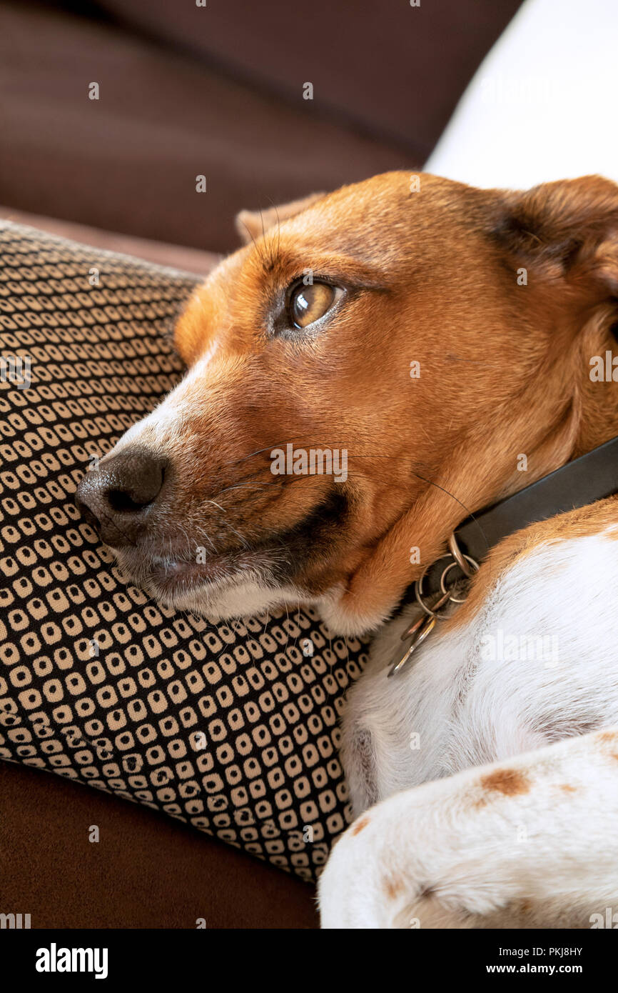 Dreamy mix terrier female dog - Stock Image