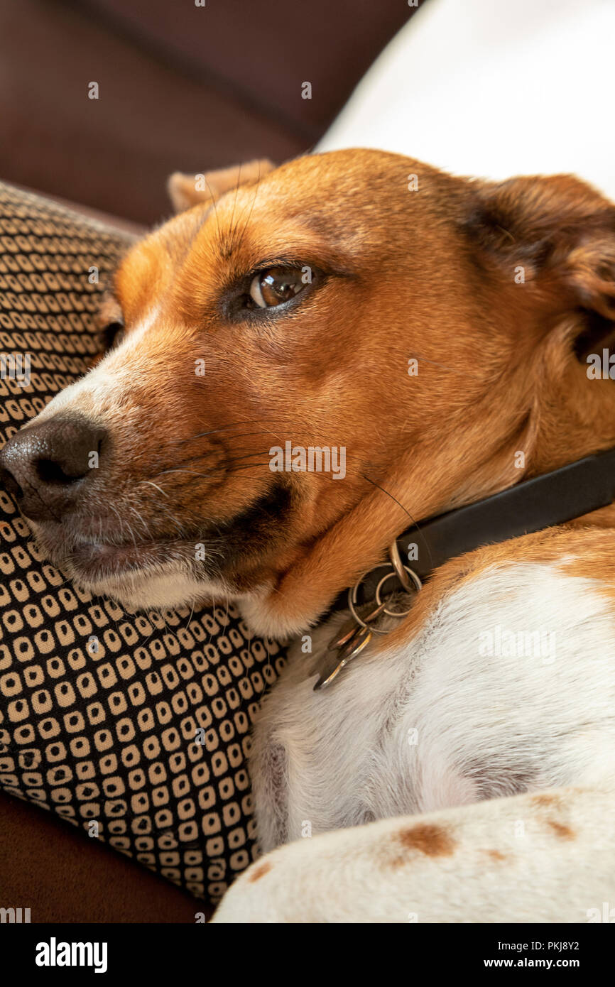 Mischevious mix terrier dog - Stock Image