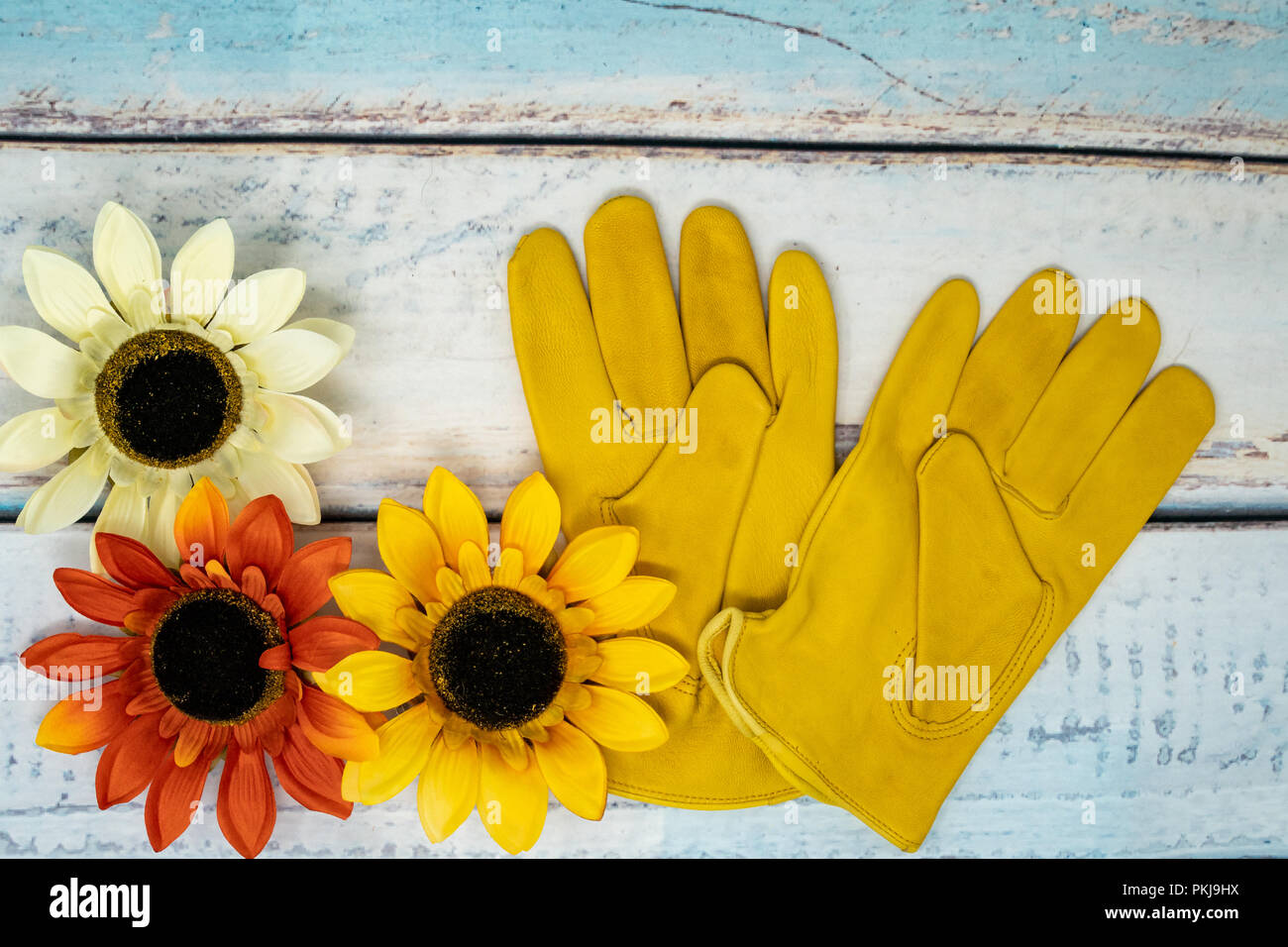 Autumn background scene with yellow leather gloves and bright sunflowers. Concept for fall gardening and yard work - Stock Image