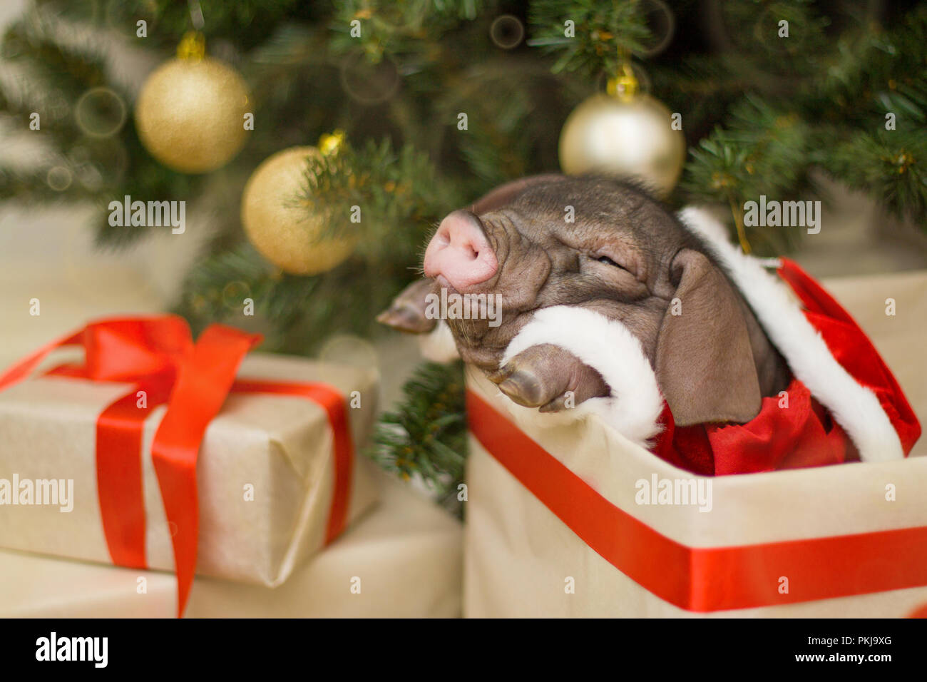 christmas and new year card with cute newborn santa pig in gift present box decorations symbol of the year chinese calendar fir on background - Chinese Christmas Decorations