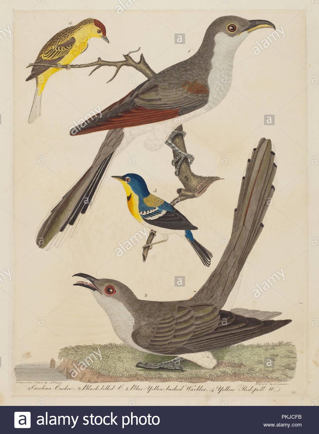 Carolina Cuckoo Black Billed Blue Yellow Backed Warbler And