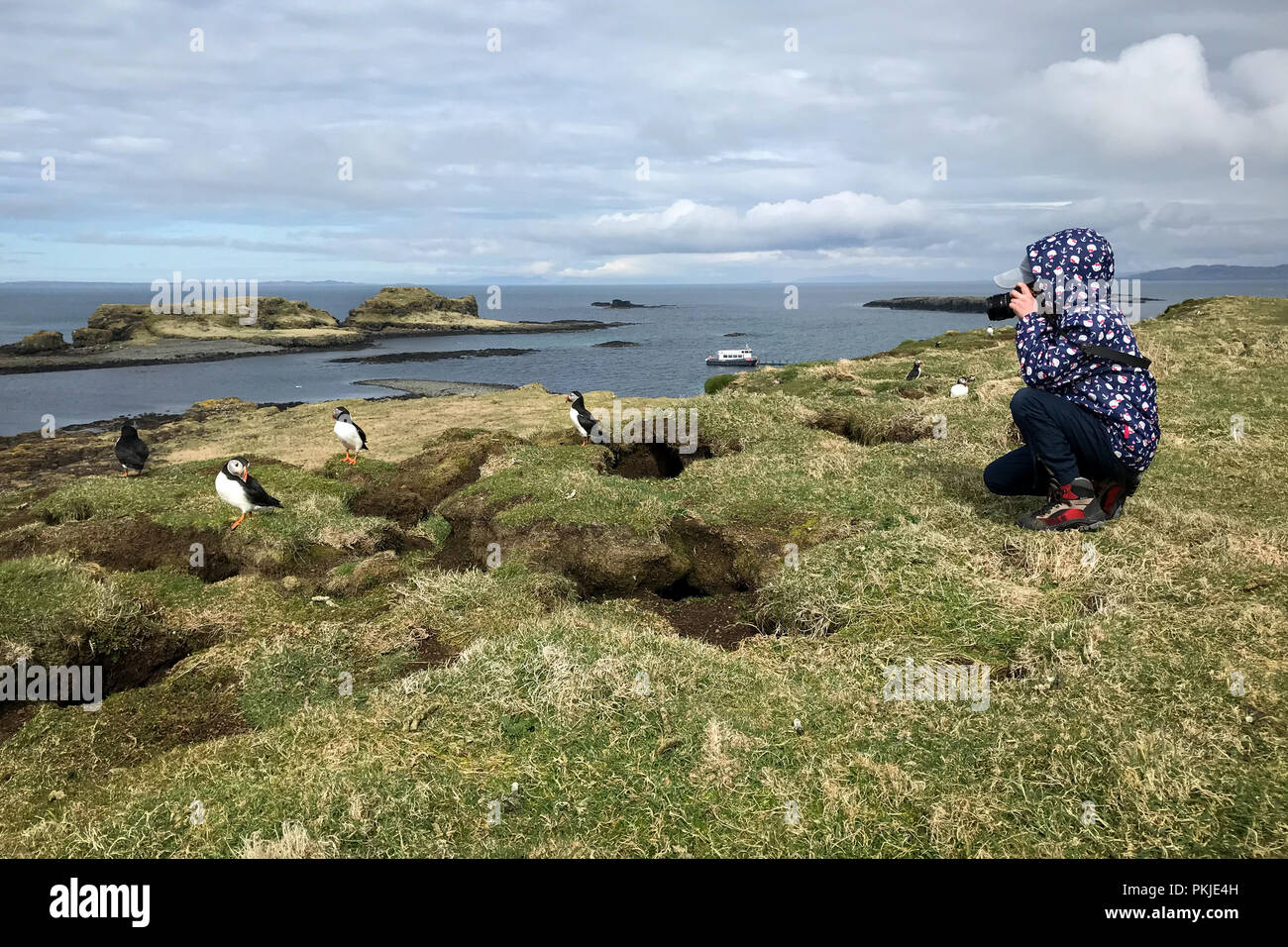 Young girl taking a photo of a puffin on the Scottish Island of Lunga - Stock Image