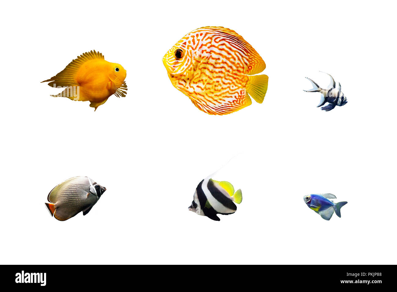 Set of colorful tropical fish isolated on white background. Cichlid, pompadour, cardinalfish, butterflyfish, longfin bannerfish or pennant coralfish,  - Stock Image