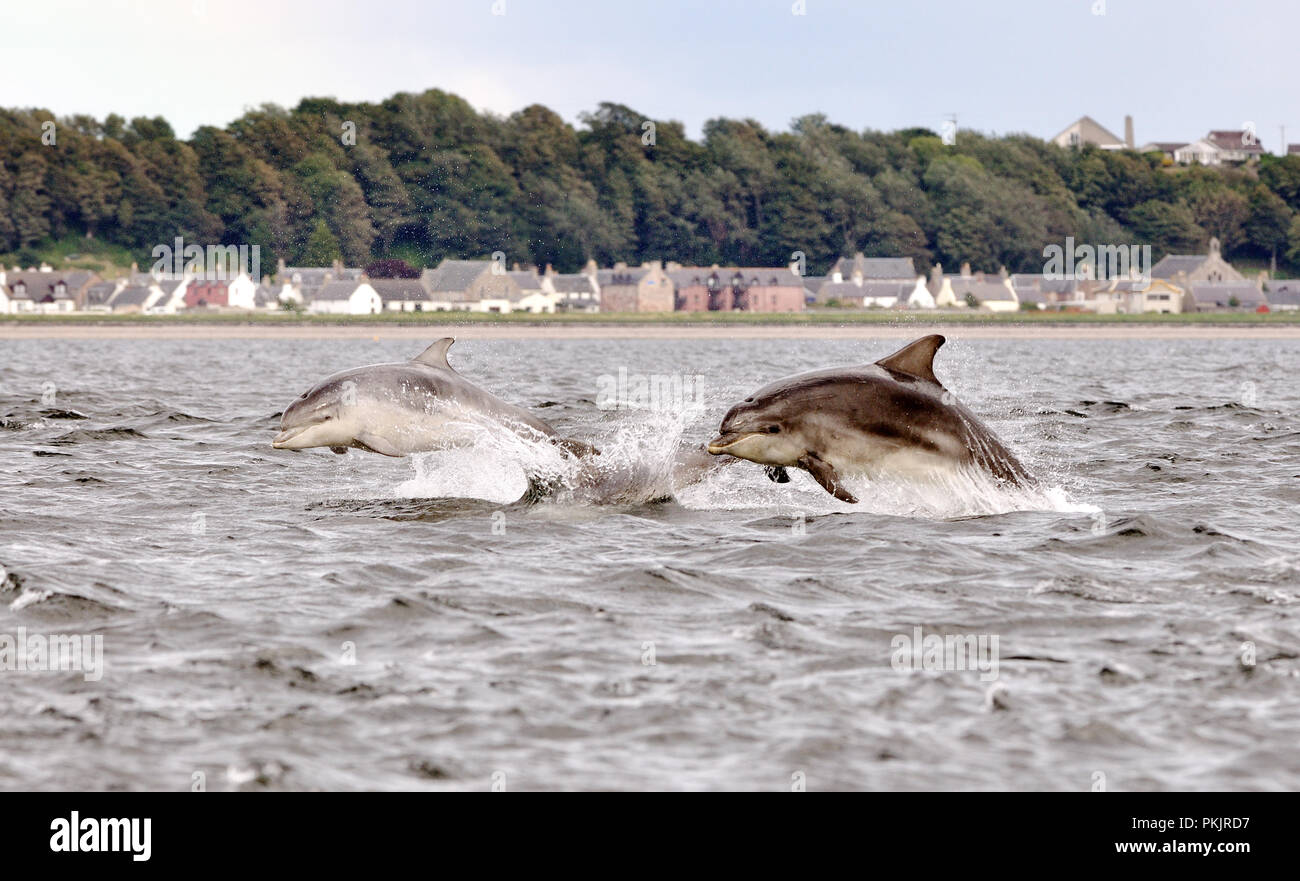 dolphins jumping in Inverness Fjord.  Tursiop truncatus.  Scotland UK - Stock Image