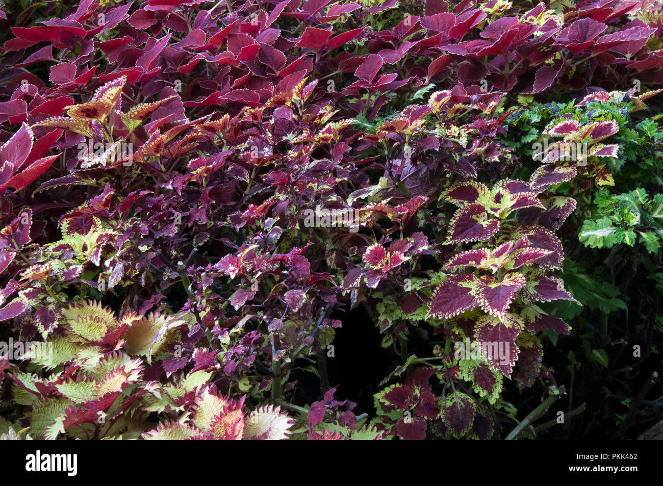 Sydney Australia, Variegated Coleus ornamental bush with two tone crimson and green leaves - Stock Image