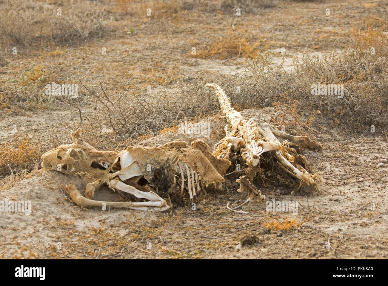 Skeleton and fragments of skin and fur of dead red kangaroo that was a victim of naturaal disaster / drought in outback Australia - Stock Image