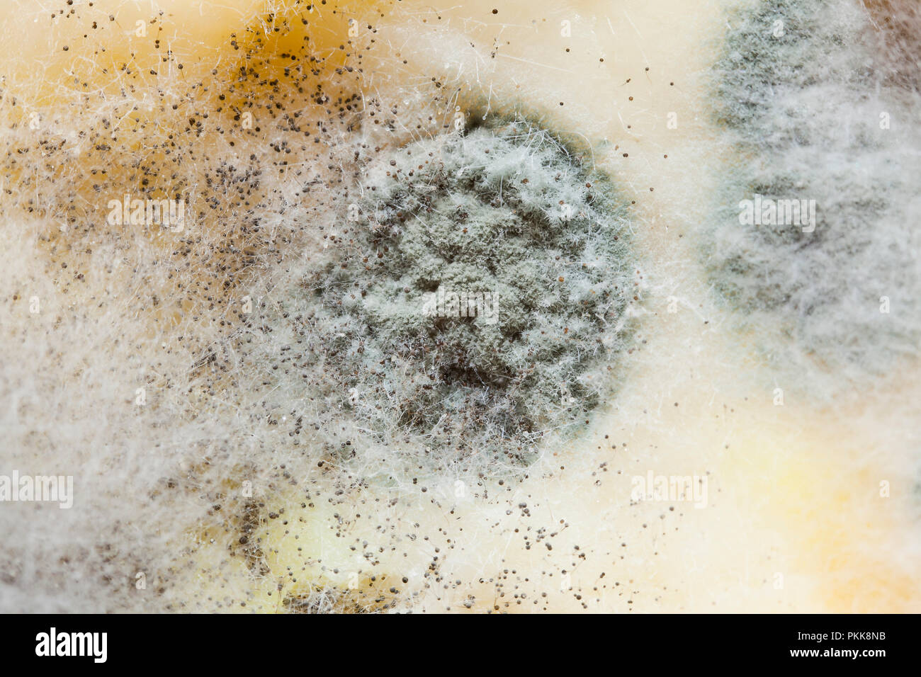 Mold growing on food (moldy food, mouldy food, food mold) - Stock Image