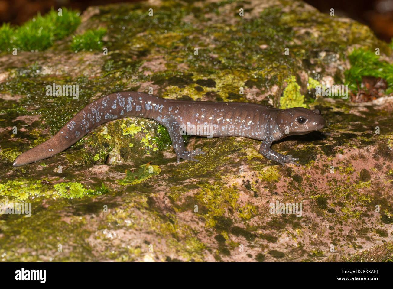 jefferson s salamander on a colorful rock ambystoma jeffersonianum