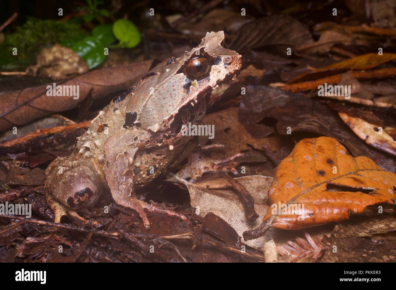 A Kobayashi's Horned Frog (Megophrys kobayashii) in the leaf litter of Kinabalu Park, Sabah, East Malaysia, Borneo - Stock Image