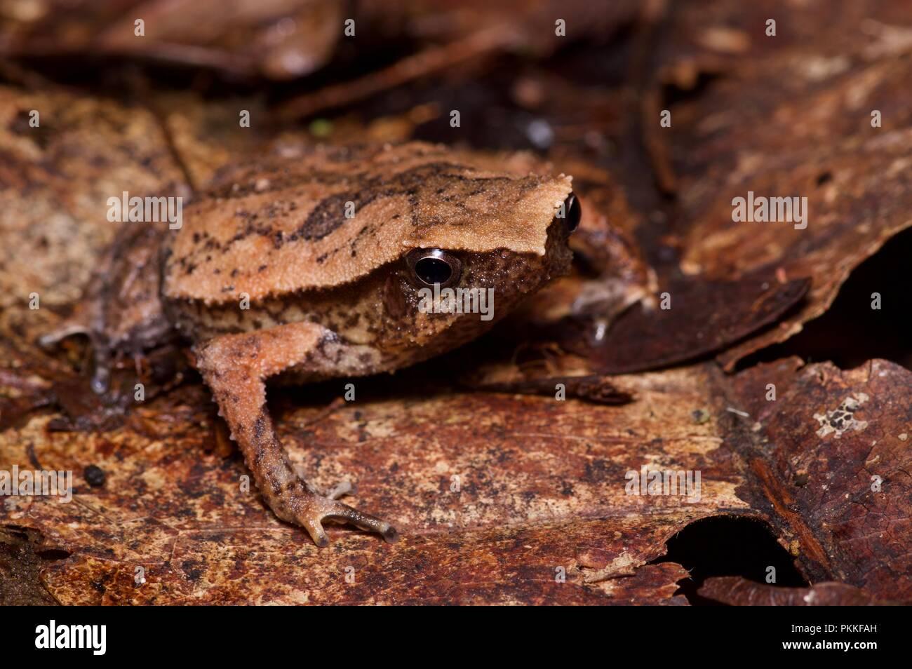 A Kinabalu Sticky Frog (Kalophrynus baluensis) in the leaf litter at Kinabalu Park, Sabah, East Malaysia, Borneo - Stock Image