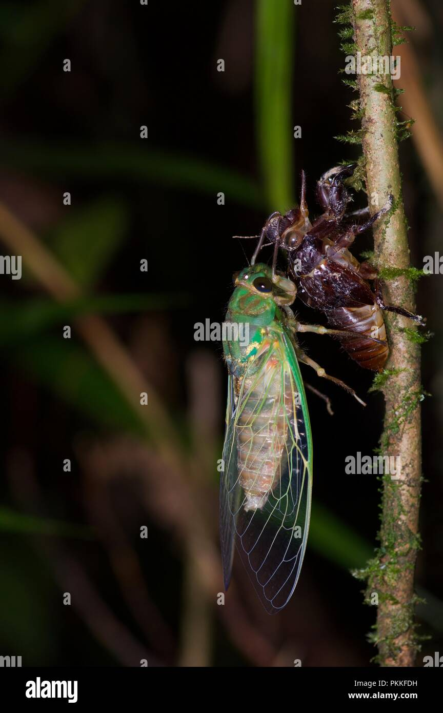 An adult cicada emerges from the shed skin of a nymph in Kinabalu Park, Sabah, East Malaysia, Borneo - Stock Image