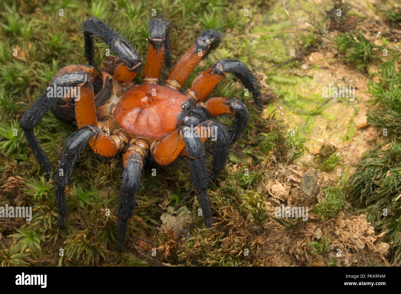 Magnificent Malayan Trapdoor Spider that is rarely seen in Malaysia. Highly sort after but the exotic pet trade. Stock Photo