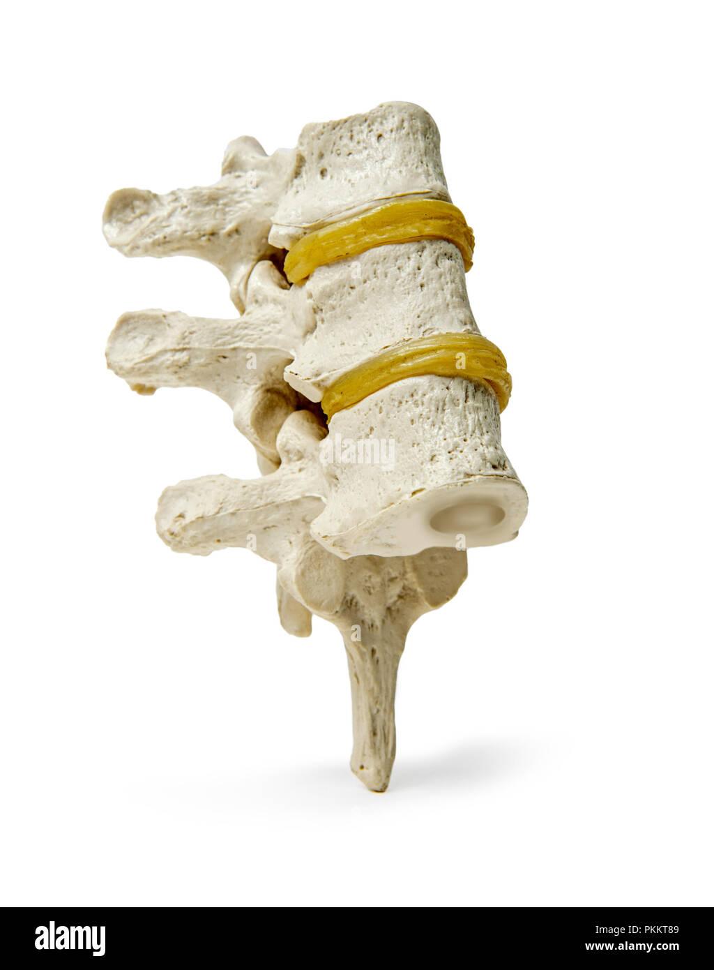 A model of three vertebra on white background. - Stock Image