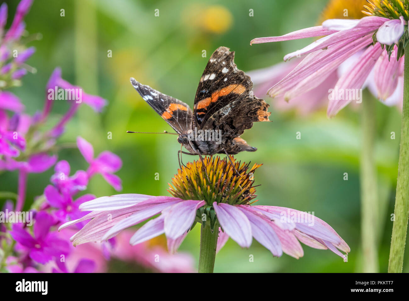 Vanessa atalanta, the red admiral or previously, the red admirable,medium-sized butterfly with black wings, orange bands, and white spots. - Stock Image