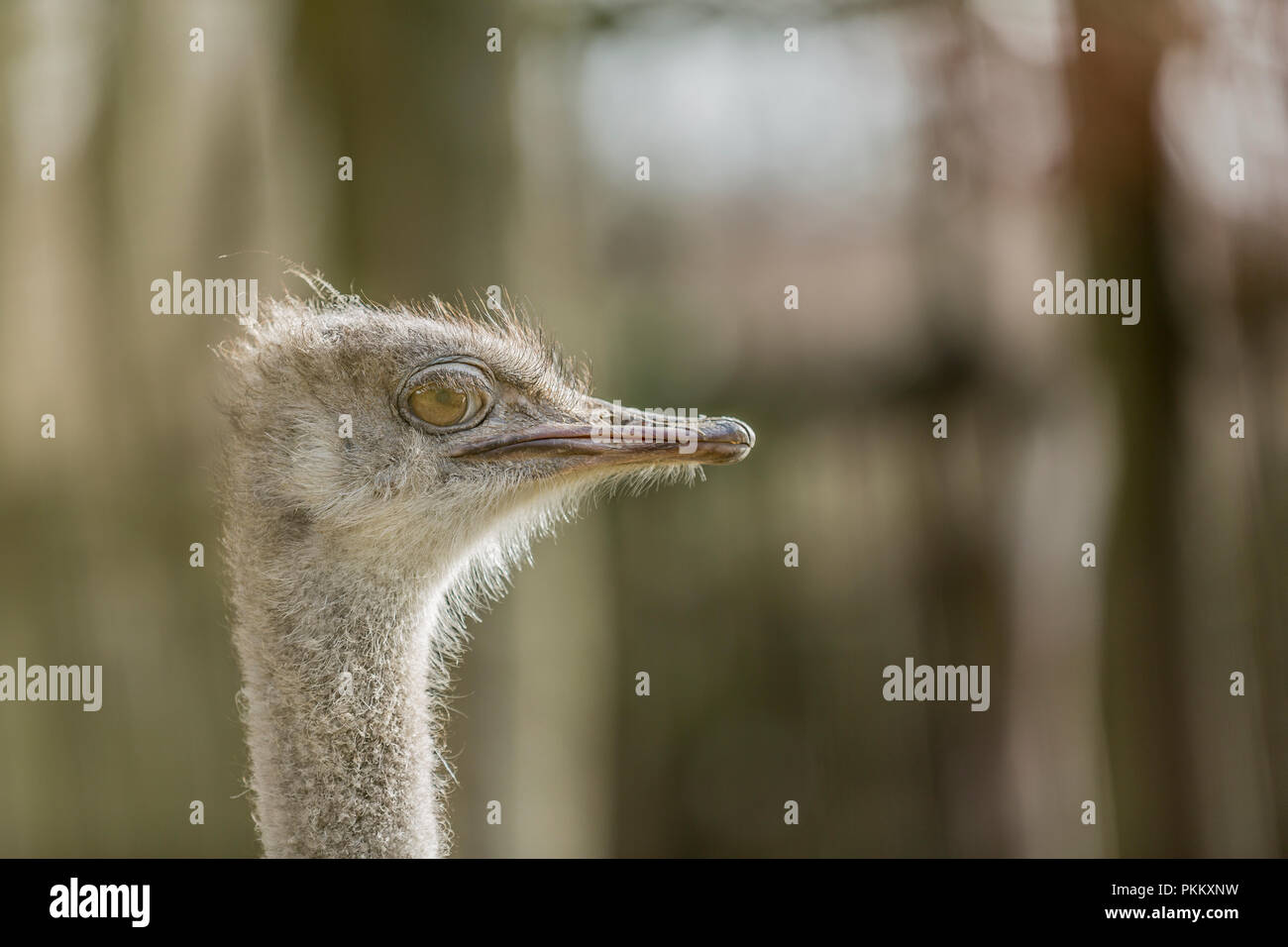 Beautiful photo of the head of a single emu on a blurred background - Stock Image