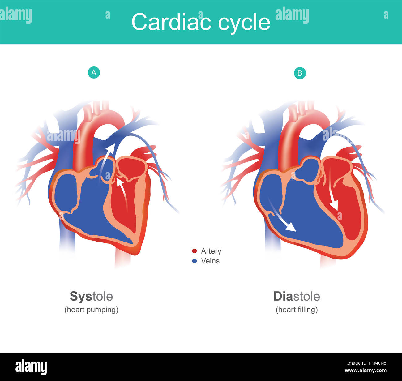 The heart is the organ of the human body that pumps blood to the body. Anatomy infographic. - Stock Image