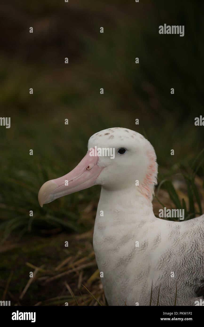 An adult female wandering albatross (Diomedia exulans) incubating on her nest on Bird Island, South Georgia, sub-Antarctic - Stock Image