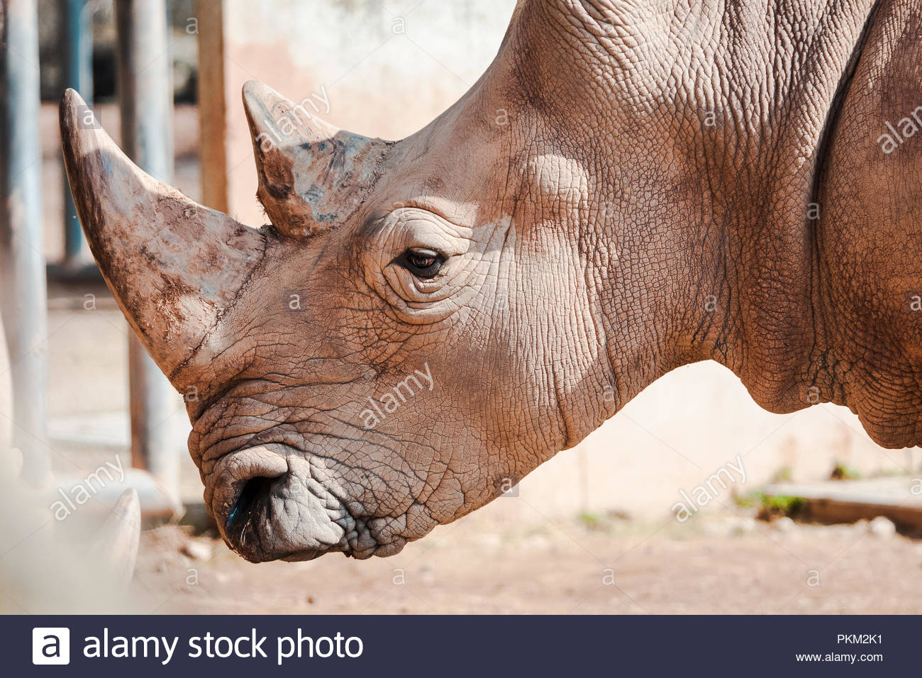 Close up portrait of a rhino in a zoo Stock Photo