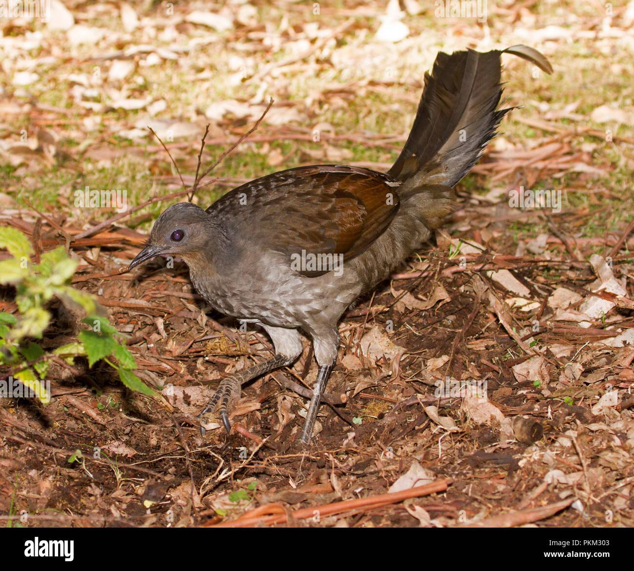female australian superb lyrebird menura novaehollandiae