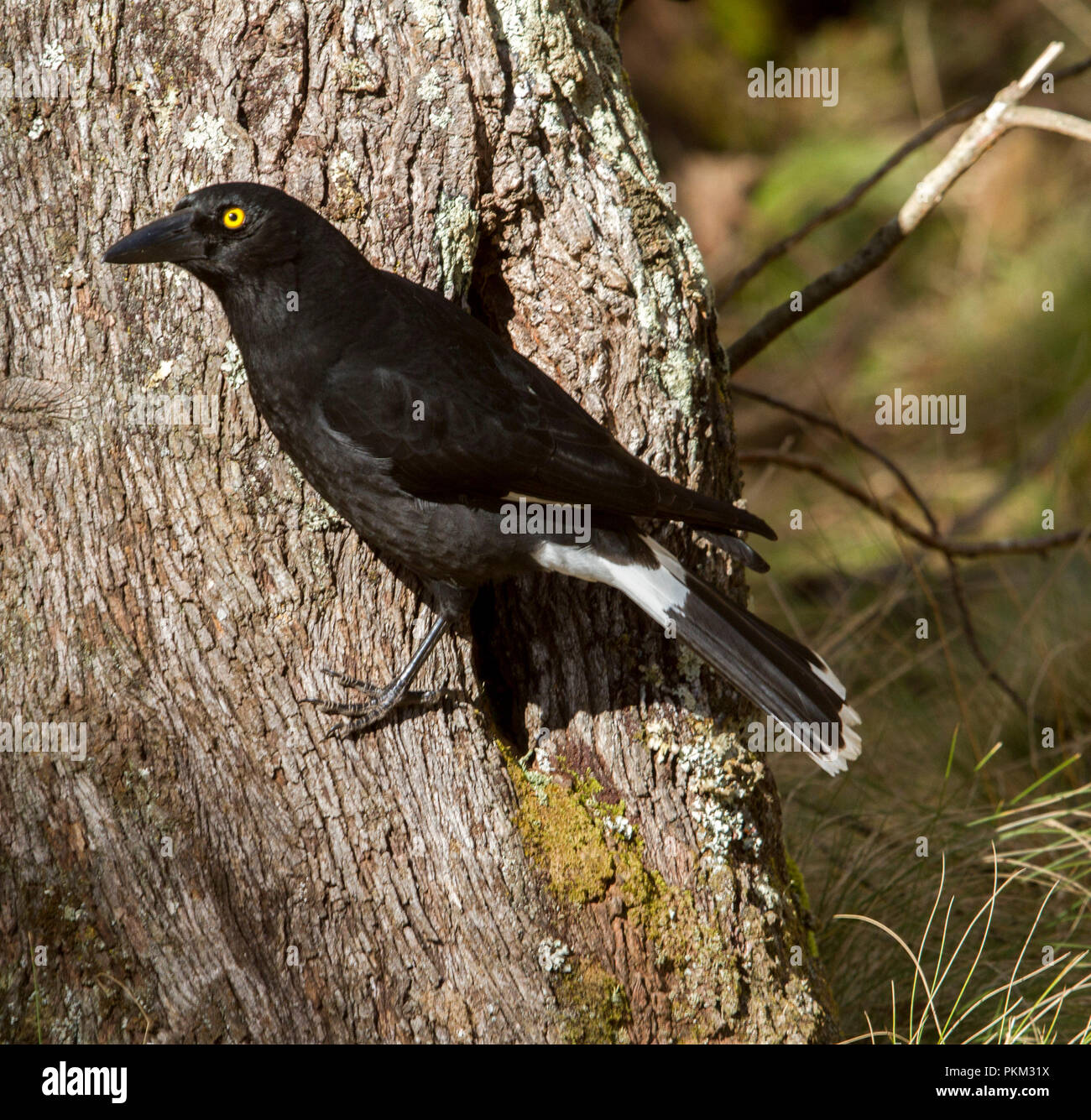 Australian pied currawong, Strepera graculina, clinging to side of tree trunk at Barrington Tops National Park NSW - Stock Image