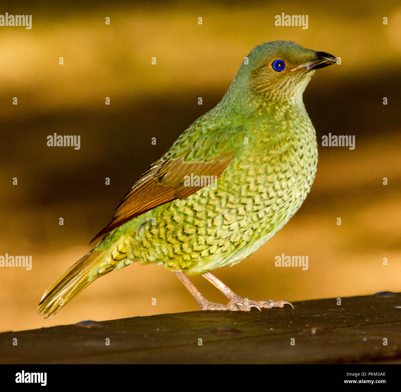 Australian female satin bowerbird, Ptilomorhynchus violaceus, with green plumage for camouflage in forest environment, against light brown background Stock Photo
