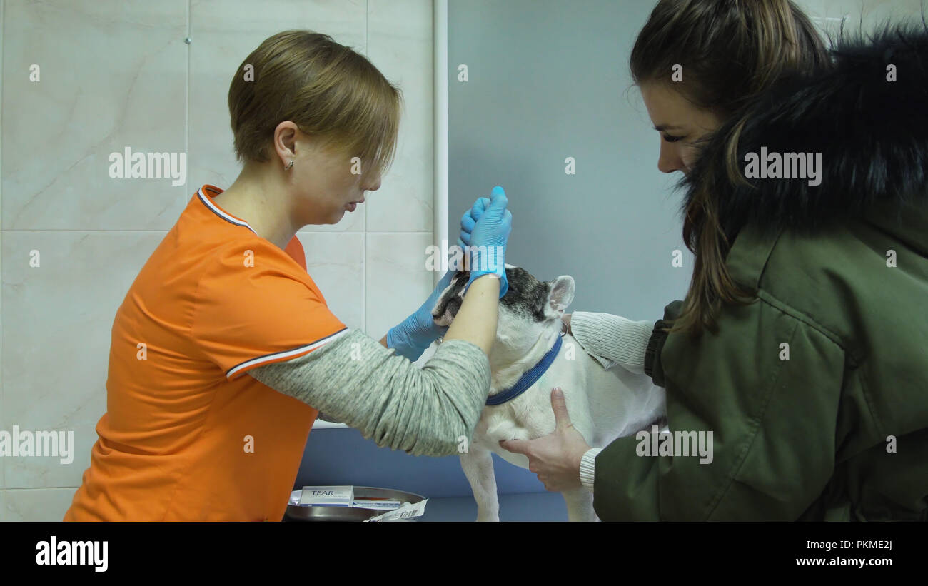 Veterinarian drip the medicine into the dog's eyes. Veterinarian ophthalmologist doing medical procedure, examining the eyes of a dog in a veterinary clinic. Healthy dog under medical exam. - Stock Image