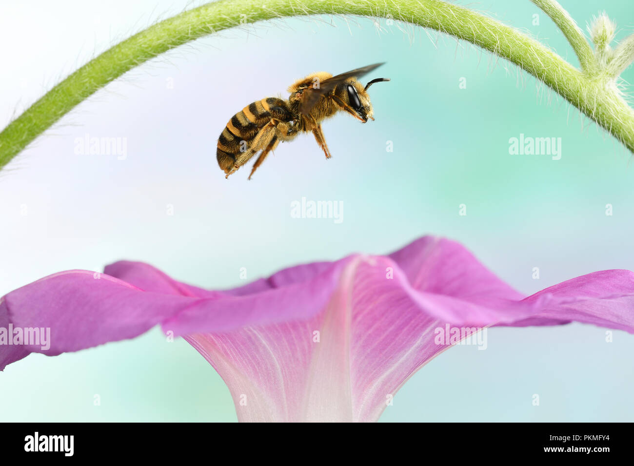 Sweat Bee (Halictus scabiosae), female, in flight, at a Morning glory (Ipomoea), Germany - Stock Image