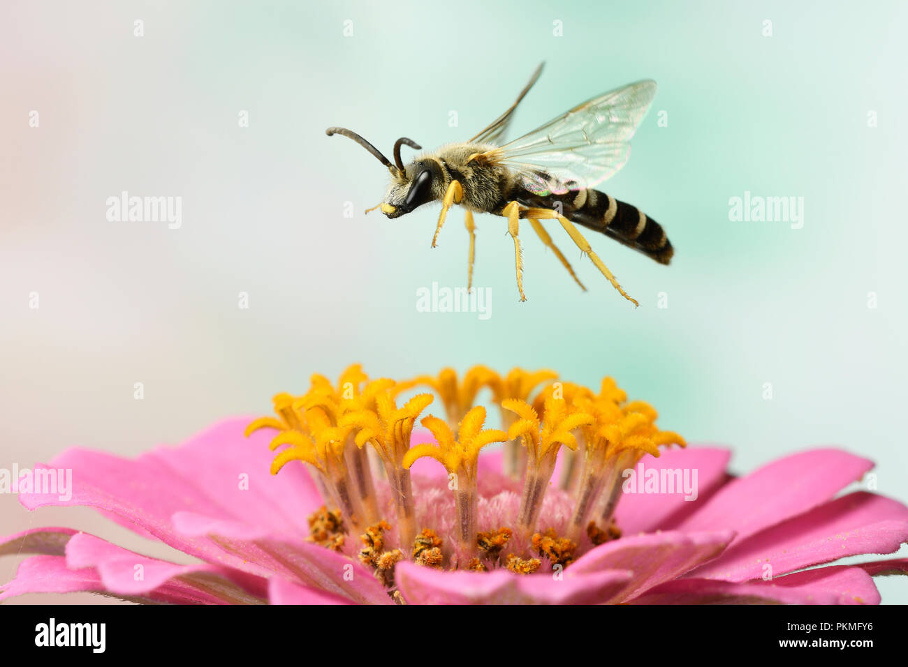 Sweat Bee (Halictus scabiosae), male, in flight, at a zinnia, Zinnia elegans, Germany - Stock Image