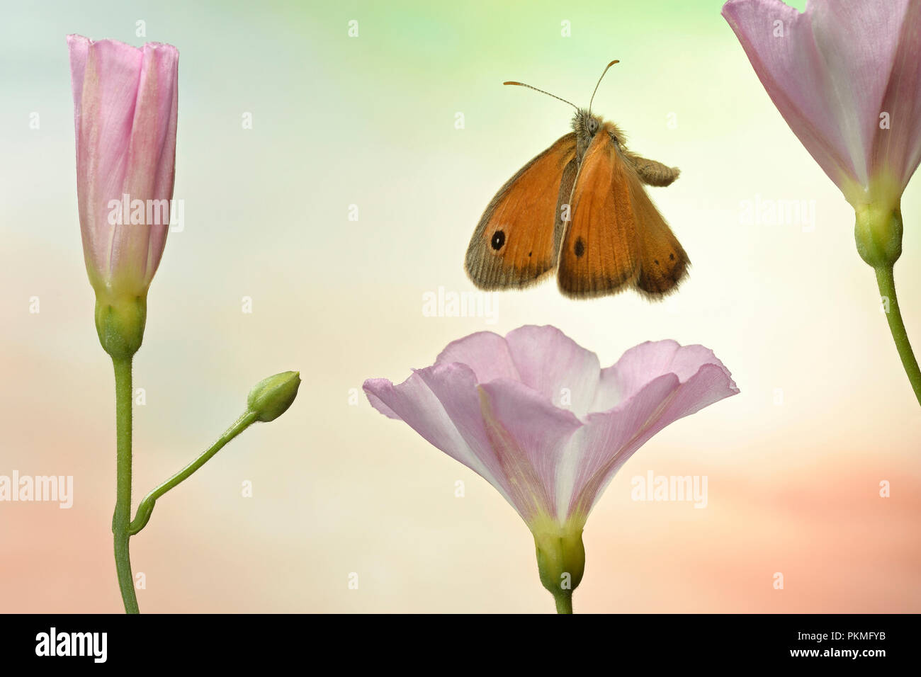 Small heath (Coenonympha pamphilus), in flight, at Field bindweed (Convolvulus arvensis), Germany - Stock Image