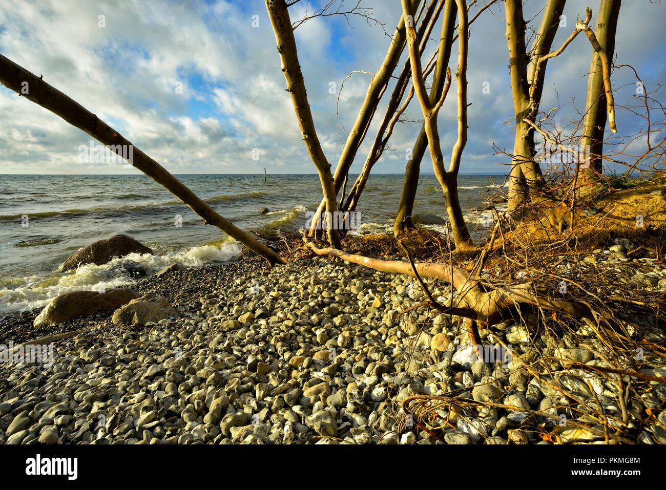 Coastal erosion on the shores of the Baltic Sea, free-flown beech trees on the stone beach, Jasmund National Park, Rügen Island - Stock Image