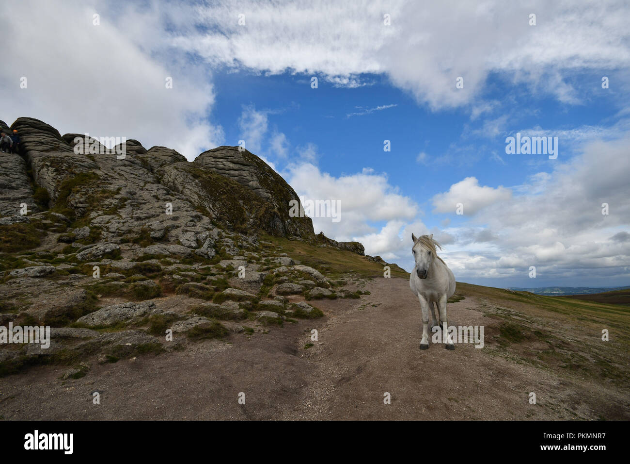Haytor, Dartmoor, Devon, UK. 14th September 2018. UK Weather: This photogenic white Dartmoor pony was posing for visitors to a sunny Haytor this lunchtime. Credit: Simon Maycock/Alamy Live News - Stock Image