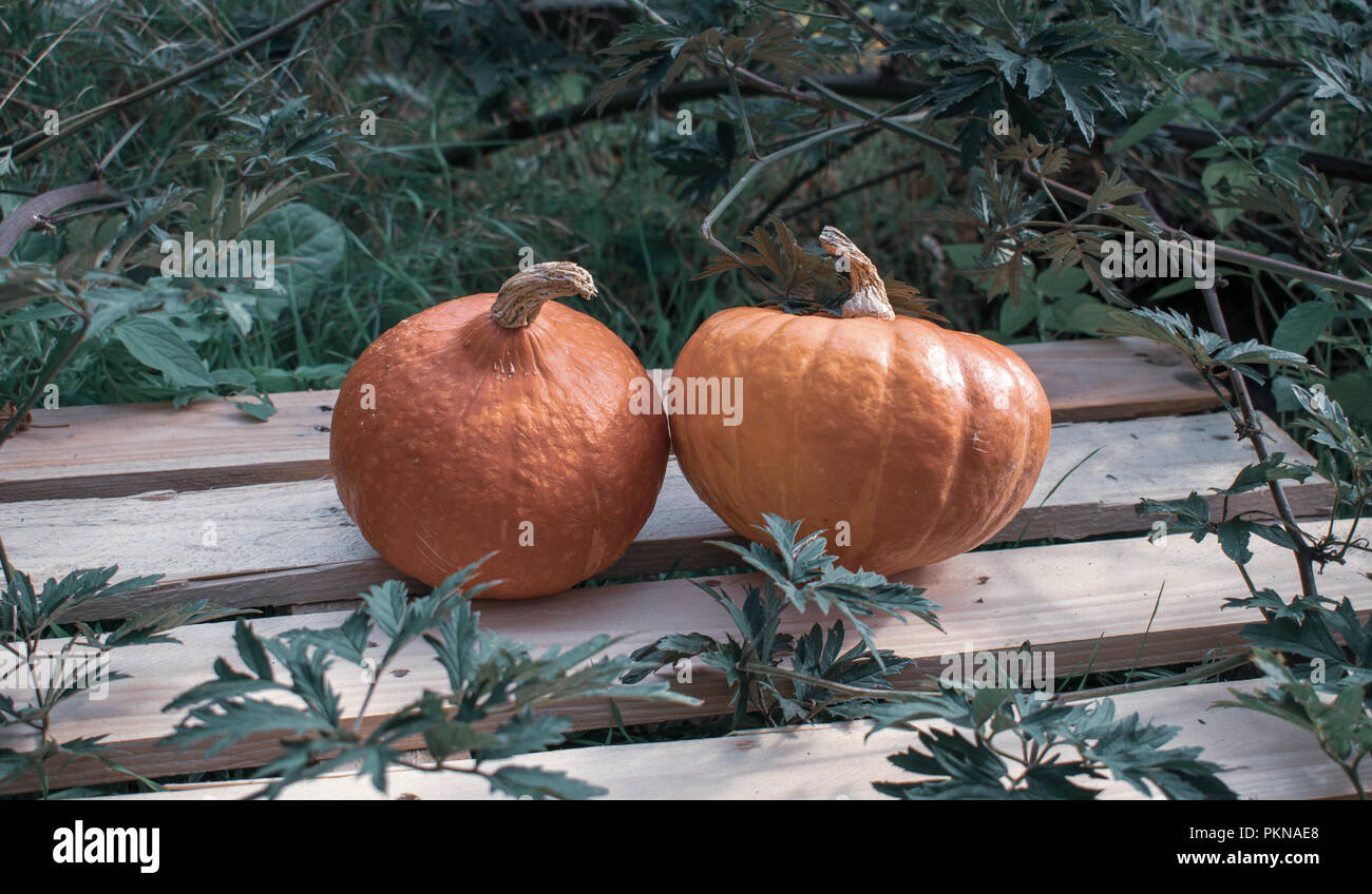 Gourds (Hokkaido Gourd) on wood in a bramble in cool colors. Location: Germany - Stock Image