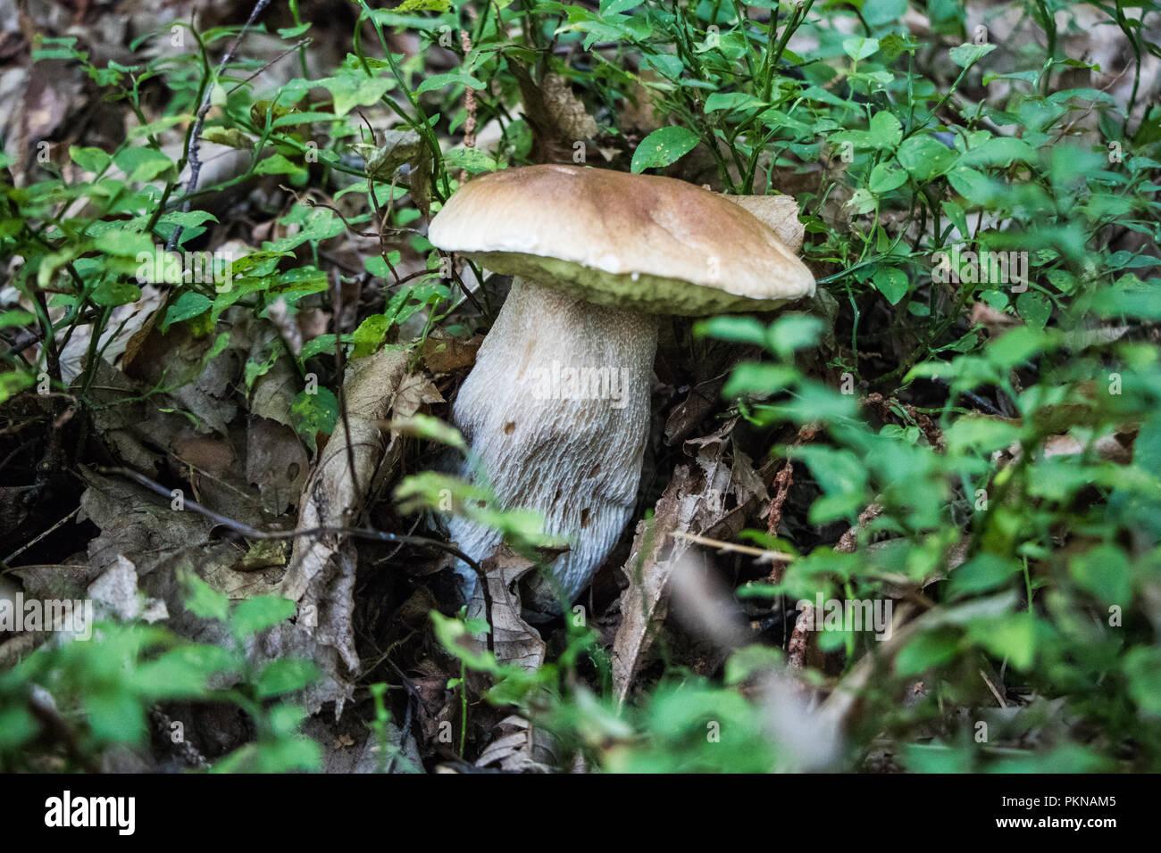 Funghi Porcini Fungi in the Woods Mushrooms Mycology - Stock Image