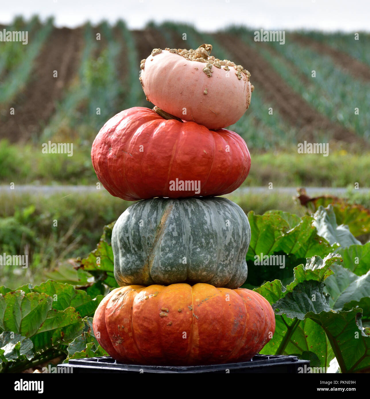 Pumpkins and squash from an early fall harvest on the Saanich Peninsula. - Stock Image