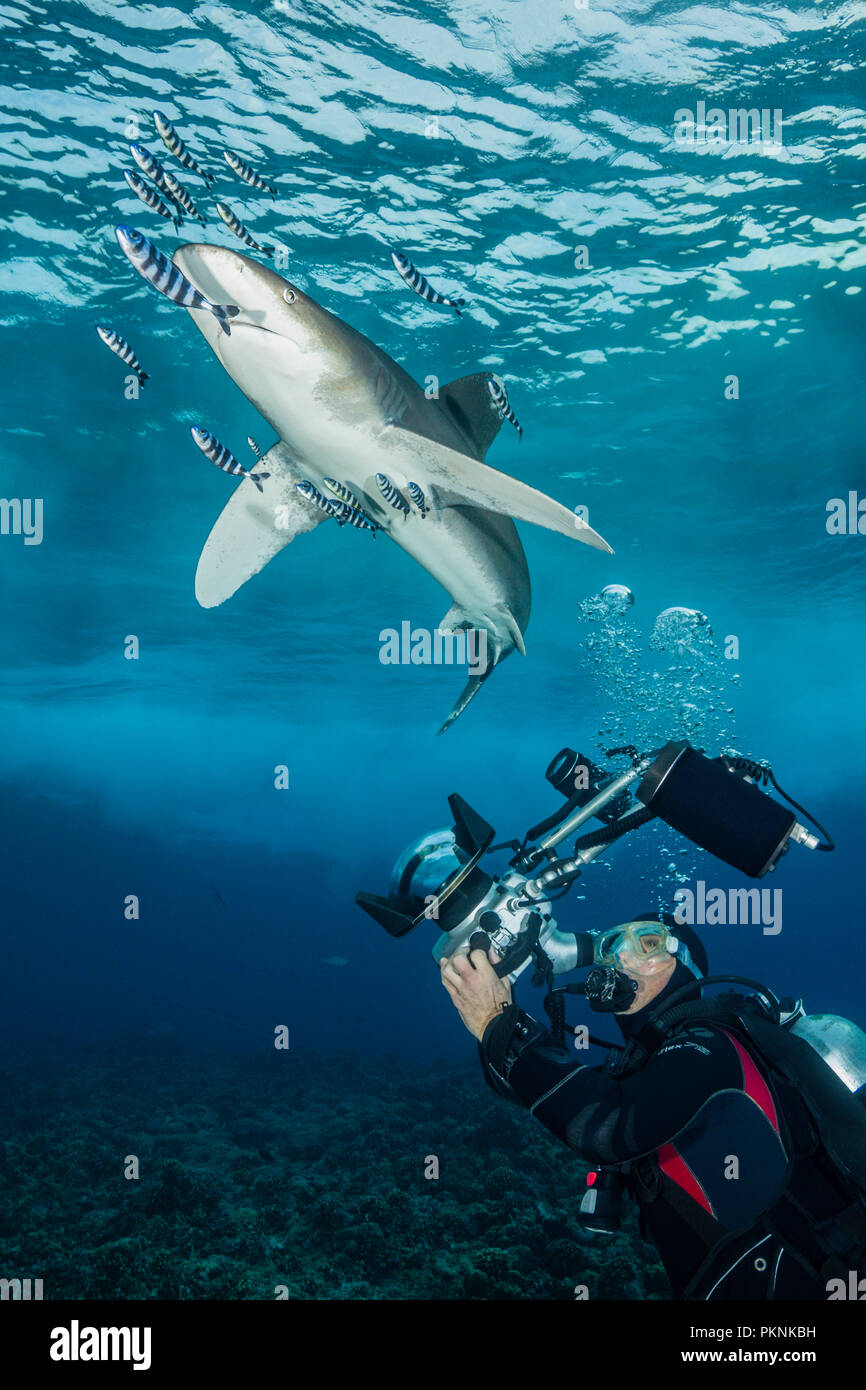 Scuba Diver and Oceanic Whitetip Shark, Carcharhinus longimanus, Brother Islands, Red Sea, Egypt - Stock Image