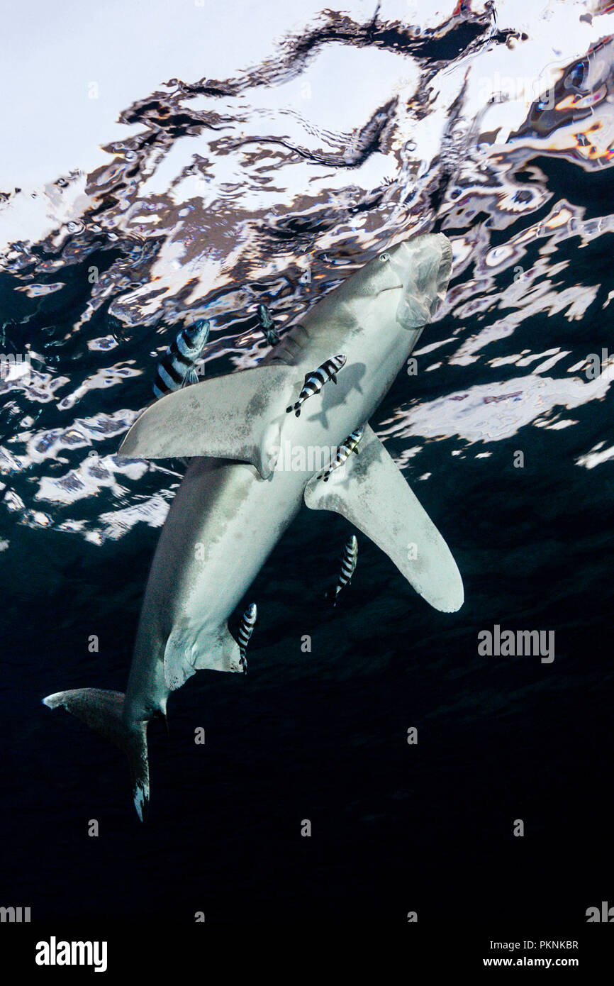 Oceanic Whitetip Shark snaps at Plastic Bag, Carcharhinus longimanus, Brother Islands, Red Sea, Egypt - Stock Image