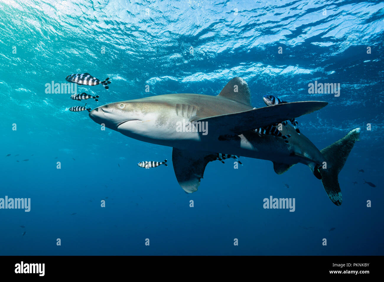 Oceanic Whitetip Shark, Carcharhinus longimanus, Brother Islands, Red Sea, Egypt - Stock Image