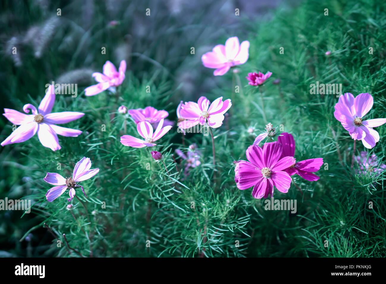 Cosmos Flowers Elegant Plants With Pink Purple Flowers Summer